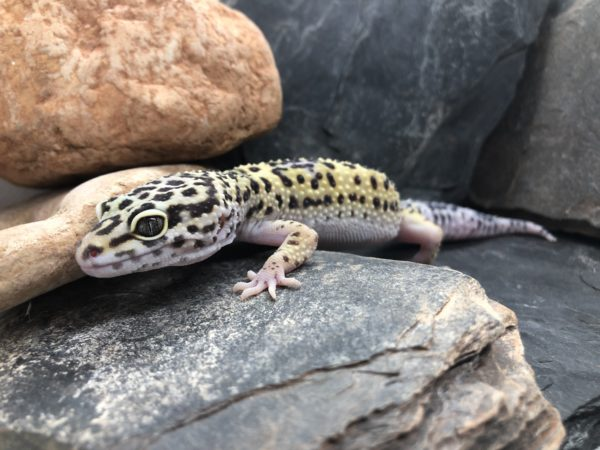 Leoapardgecko Weibchen Wildtyp 2018