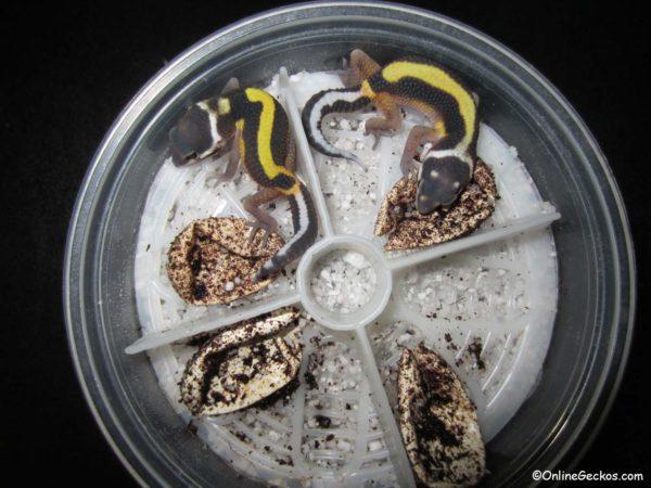 Leopardgecko züchten lassen