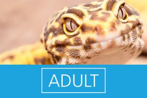 Adult Leopardgeckos kaufen