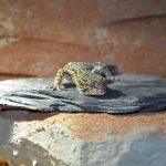 Leopardgecko Männchen Jamie Adult