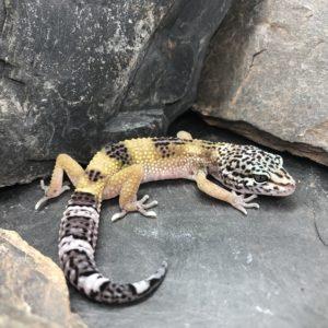 Leopardgecko kaufen [NZ19 - E-J]