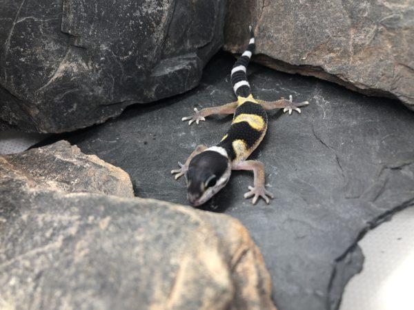 Leopardgecko kaufen [NZ19 - F-J]
