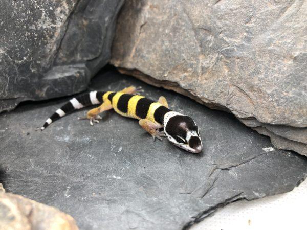 Leopardgecko Weibchen kaufen [pos Tangerine]
